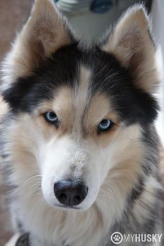 Gorgeous ! Such an intense look. #siberianhusky