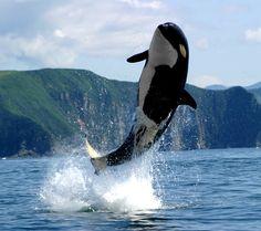 Fondo de pantalla Orca in the Atlantic Ocean 1440x1280
