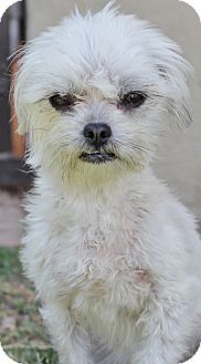 San Pedro, CA - Shih Tzu/Maltese Mix. Meet Kaylee, a dog for adoption. http://www.adoptapet.com/pet/12911541-san-pedro-california-shih-tzu-mix
