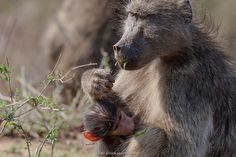 Chacma baboon. Kruger National Park 2007 day 4 (2015 editing).jpg