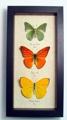 Lime, orange, lemon. Butterflies from three continents: Asia, Africa and South America. Species: Charaxes Eupale, Native Origin: Africa -  Species: Appias Nero, Native Origin: Java -  Species: Phoebis Argante, Native Origin: Peru