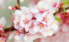HD High Resolution Cherry Blossom Wallpaper Pink Full Size ...
