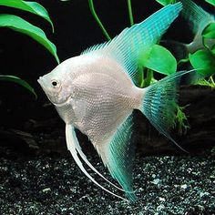 When starting a new aquarium it is important to understand the nitrogen cycle. Many new aquarium owners jump into the hobby of fish keeping too quickly. Aquarium Fish For Sale, Aquarium Set, Tropical Fish Aquarium, Tropical Freshwater Fish, Tropical Fish Tanks, Live Aquarium Plants, Freshwater Aquarium Fish, Saltwater Aquarium, Aquarium Fish Tank