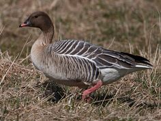 Pink-footed Goose (Anser brachyrhynchus) by Magnus_Lindberg.