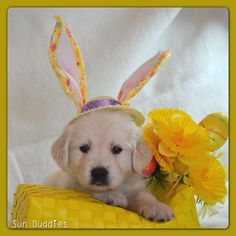 Happy Easter photo with a English Cream Golden Retriever puppy, from Sun Buddies English Cream Golden Retrievers. Cute Little Puppies, Puppy Love, Cute Puppies, Dogs And Puppies, Doggies, White Golden Retriever Puppy, Golden Retrievers, Boy Dog Names, Best Dog Breeds