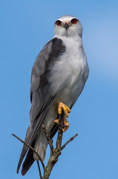 Black Shouldered Kite ~ Biskit by Nobbys Photography**