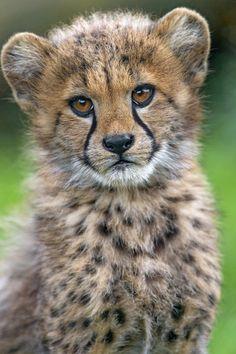 Cheetah baby...