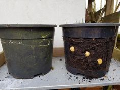 Growing Potatoes in Buckets : 4 Steps (with Pictures) - Instructables Tips For Growing Tomatoes, Growing Tomato Plants, Easy Plants To Grow, Grow Tomatoes, Potato Gardening, Planting Potatoes, Gardening Tips, Organic Gardening, Vegetable Gardening