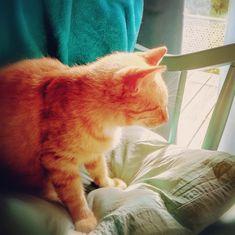 Gino car il est à la couleur des chevelures des Vénitiens, adorable il se repose souvent près du meuble à musique ... Cats, Animals, Natural Garden, Garden Art, Furniture, Music, Color, Home, Gatos