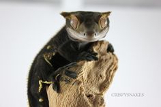 "drawing-to-run: "" crispysnakes: "" Bangarang - Crested Gecko "" such a crispygecko """