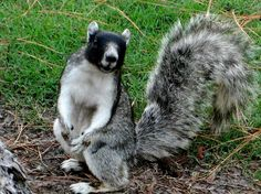 Fox squirrel (Sciurus niger niger) - Flickr user Betsy2009