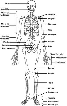 anatomy unit 5 skeletal and muscular systems quiz 1 - 28 images - muscular system diagrams study label quiz color, anatomy physiology 1 lucinda supernavage, anatomy unit 5 skeletal and muscular systems quiz anatomy unit 5 skeletal and muscular systems q Human Skeleton Anatomy, Human Body Anatomy, Human Anatomy And Physiology, Human Skeleton Labeled, Human Skeleton Images, Skeletal And Muscular System, Skeletal System Worksheet, Skeleton System, Anatomy Bones