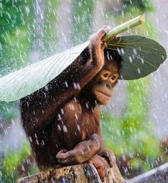 Smart orangutan protecting him/herself from rain                                                                                                                                                                                 Plus
