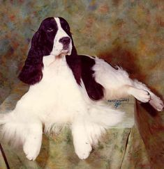 Springer Spaniel - Classic Look & Trim ~ Northgate English Springer Spaniels Springer Spaniel Puppies, English Springer Spaniel, Cocker Spaniel, Dog Photography, Beautiful Dogs, Mans Best Friend, Pet Birds, Animals And Pets, Dog Breeds