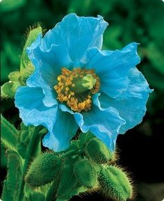 blue poppy - Chinese perennial having mauve-pink to bright sky blue flowers in drooping cymes