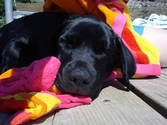 black lab puppy sleeping on the dock after swimming in the lake