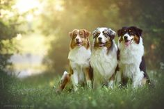 Australian Shepherd dogs - Photograph We are family by Anne Geier on 500px
