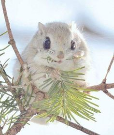 The Ezo momonga native to a small are of Japanese islands. L'Ezo Momonga est une sorte d'écureuil volant introuvable hors d'Hokkaido Nature Animals, Animals And Pets, Baby Animals, Funny Animals, Cute Animals, Pretty Animals, Animals Beautiful, Cute Creatures, Beautiful Creatures
