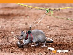 rats used for landmine detection.