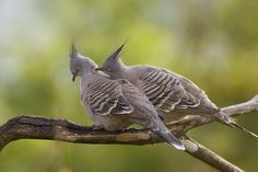 Crested Pigeons (Ocyphaps / Geophaps lophotes) pair, with one preening its mate as part of courtship. All Birds, Love Birds, Beautiful Birds, Bird Pictures, Nature Pictures, Beautiful Pictures, Crested Pigeon, Australia Pictures, Australian Birds