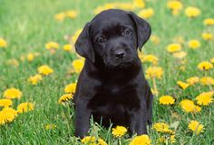 Cute Little Black Labrador Retriever Puppy In Flowers Field