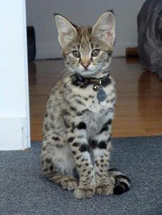 Savannah Kitten - I WANT THIS KITTY!
