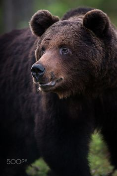 "bears–bears–bears: "" Power by Mats Brynolf """