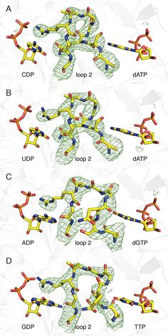 Cells create and maintain a large pool of dNTPs, ensuring that the proper balance of DNA building blocks is always available to meet the cell's needs during DNA synthesis. Now researchers have uncovered the mechanism of the uncommon form of regulation that enables ribonucleotide reductase to control the relative amounts of each of the deoxyribonucleotides it produces.