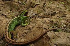 """Lizard.    (""""Lacerta agilis agilis mascul - Soparla de camp, Bihor - Silviu."""")"""