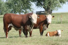 Hereford are medium framed cattle with distinctive red body color with the head and front of the neck, the brisket, underside, and switch in white. They have well developed fore-quarters, a deep brisket, broad head and stocky legs. Most animals have short thick horns that typically curve down at the sides of the head, but there is a polled strain in North America and UK (Polled Hereford).