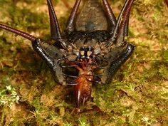 Whip Spider with Cricket