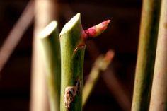 Από τα τέλη Γενάρη μέχρι τα τέλη Φλεβάρη είναι η κατάλληλη εποχή για το χειμερινό κλάδεμα της τριανταφυλλιάς. Κι επειδή μεγάλο μέρος της επιτυχίας της καλλιέργειας των φυτών εξαρτάται από το σωστό κλάδεμα, σας προτείνω να ακολουθήστε τις παρακάτω γενικές και ειδικές αρχές του κλαδέματος της τριανταφυλλιάς.