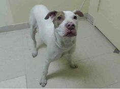 URGENT - Staten Island Center    SANDY - A0993887   I am an unaltered female, white and brown American Staffordshire Terrier mix.   The shelter staff think I am about 8 months old.   I weigh 38 pounds.   I was found in NY 10301.   I have been at the shelter since Mar 13, 2014 https://www.facebook.com/Urgentdeathrowdogs/photos_stream
