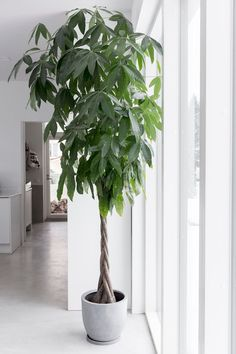 Botanical Interior, Tropical Interior, Botanical Decor, Interior Plants, Money Tree Plant Care, Pachira Aquatica, Living Wall Planter, Plantas Indoor, Money Trees