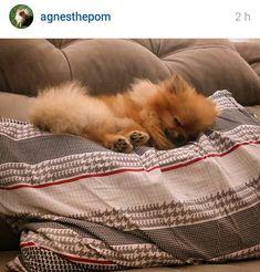 Sleepy. #pomeranian