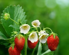Strawberry plant cultivation process can happen in the home or garden. It is a popular fruit and it is mostly available in United States of America. Strawberry Flower, Strawberry Plants, Fruit Plants, Strawberry Fields, Beautiful Fruits, Beautiful Gardens, Beautiful Flowers, Bonsai, Iphone 6 Plus Wallpaper