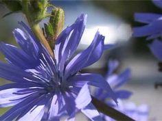 Movie 08 - Chicory-Cichorei