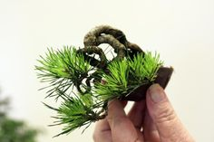 Visit the post for more. Mame Bonsai, Minis, Juniper Bonsai, Tree Designs, Miniture Things, Orchids, Succulents, Herbs, Plants