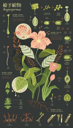 These three information charts describe the morphological characteristics, growth and development of fern, gymnosperms and angiosperms, and their respective information.The plants in the chart show in the form of illustrations and add some texture to the… Illustration Inspiration, Plant Illustration, Botanical Illustration, Graphic Design Inspiration, Science Illustration, Design Ideas, Information Visualization, Plakat Design, Information Design