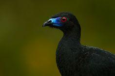 black guan - Google Search