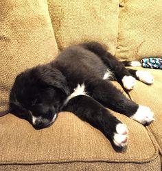 Meet Lucy, an adorable Bernese Mountain Dog and Newfoundland Dog mix puppy