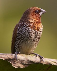 Scaly-breasted Munia. Lonchura punctulata