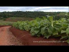 PLANTACIONES FORESTALES. Cuando los arboles matan - documental www.arbolesquematan.com.ar