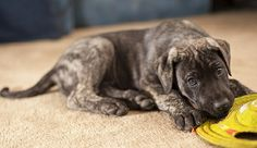 brindle great dane puppy