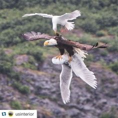 #Repost @usinterior with @repostapp.  Check out this epic aerial battle between a #BaldEagle & two seagulls. David Canales (@dcanak1) captured this once-in-a-lifetime photo from his kayak on #PrinceWilliamSound in #Alaska while on an 11-day expedition from Valdez to Whittier. Photo courtesy of David Canales (@dcanak1).