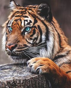 tiger   wild   beauty   nature   stripes   eyes   animal  