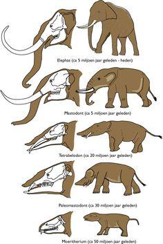 evolutie olifantachtigen