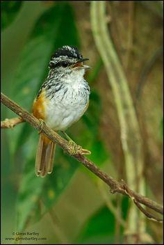 Guianan Warbling Antbird. Glenn Bartley Nature Photography - GUYANA FAVORITES