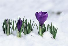 Crocus bud and half opened bloom give hope for spring.  Beautiful contrast against the snow.