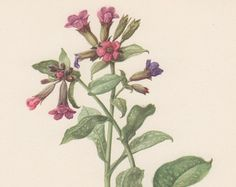 Stampa Botanica Coronilla Securigera varia di AntiquePrintGarden
